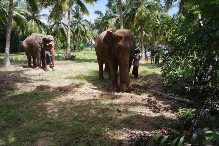 Elephants residing at rescue center, out for one of their daily walks.