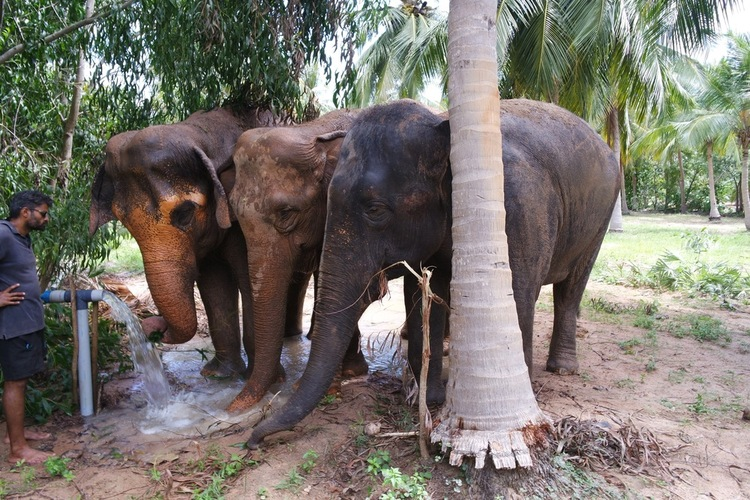 The three Asian elephants catch a drink and splash mud on themselves to protect them from sun burn.